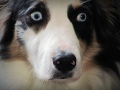 Fiona , the Australian shepherd dog
