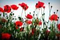 Roadside Poppies by Pamela Kelly