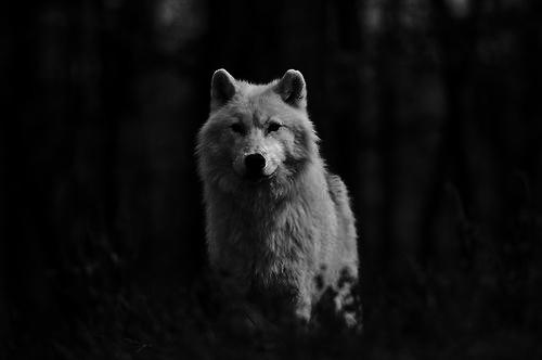 White Wolf via @Minerva_Wild on Twitter for #SaveSweWolves